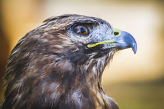 Eagle, diurnal bird of prey with beautiful plumage and yellow be Royalty Free Stock Images