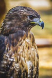 Eagle, diurnal bird of prey with beautiful plumage and yellow be Royalty Free Stock Photography