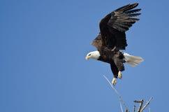 Eagle Diving After Prey calvo fotos de stock