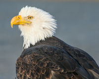 Eagle do Alasca ensolarado imagens de stock royalty free