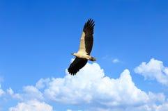 Eagle-doen zwellen wit het vliegen over de overweldigende blauwe hemel. Zachte focu stock afbeeldingen