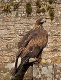 Eagle dourado fotografia de stock
