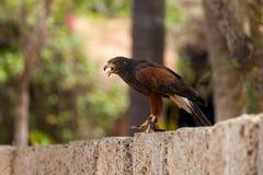 Eagle dourado Imagens de Stock Royalty Free