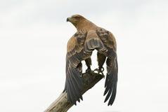 Eagle dourado Imagens de Stock