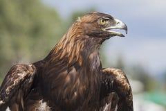 Eagle dourado Imagem de Stock