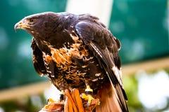 Eagle dourado africano majestoso empoleirado Foto de Stock