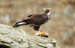 Eagle dourado com rapina fotografia de stock