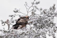 Eagle dourado na árvore coberto de neve imagens de stock