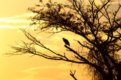 Eagle dourado no por do sol Fotos de Stock Royalty Free
