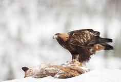 Eagle dourado que alimenta em uma raposa vermelha inoperante fotografia de stock royalty free