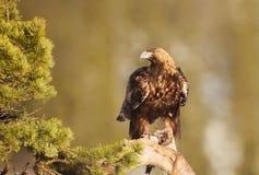 Eagle dourado que empoleira-se em um ramo de pinheiro foto de stock
