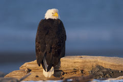Eagle on Driftwood royalty free stock photography