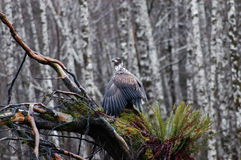 Eagle drying. An eagle sitting on a ragged branch, drying its wings after a heavy rain Royalty Free Stock Photography