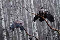 Eagle drying. An eagle sitting on a ragged branch, drying its wings after a heavy rain Royalty Free Stock Images