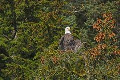 Eagle Drying His Wings calvo de la niebla de la mañana Imagen de archivo libre de regalías