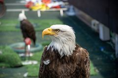 Eagle images stock