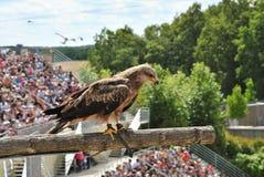 Eagle durante una demostración del pájaro fotografía de archivo