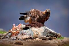 Eagle e carcaça da vitela da vaca Comportamento de Animnal Comportamento de alimentação do pássaro na montanha rochosa Águia dour fotos de stock royalty free