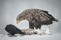 Eagle e corvo Fotografia de Stock