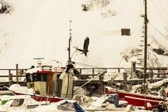 Eagle e corvo Fotografie Stock Libere da Diritti