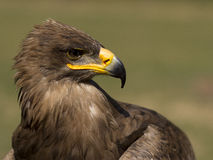 Eagle. S profile with blurred background royalty free stock photo