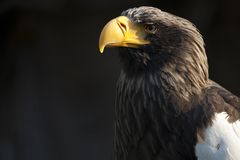 Eagle eastern Stock Photography