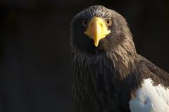Eagle eastern Stock Photos