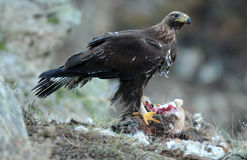 Eagle eating carrion in the field Stock Image