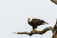 Eagle Eating Fish royalty-vrije stock afbeelding
