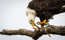Eagle Eating Fish Royalty Free Stock Photos