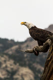 Eagle Eating Fish Royalty Free Stock Image