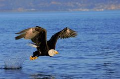 Eagle swallowing fish. Eagle eating fish in Homer Alaska Royalty Free Stock Photo