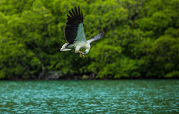 Eagle eating on the fly. Feeding the Eagles, while traveling by boat on the Langkawi archipelago Royalty Free Stock Photos