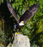 Eagle effectue le vol Image stock