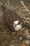 Eagle in einem Nest Lizenzfreies Stockfoto