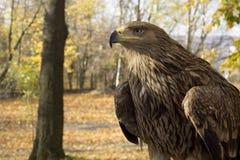 Eagle an einem pädagogischen Park der wild lebenden Tiere Stockbilder