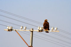Eagle on electric pole Stock Photos