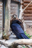 Eagle em um jardim zoológico Foto de Stock Royalty Free