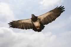 Eagle em vôo. Imagens de Stock
