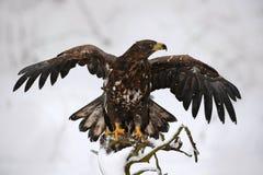 Eagle en el invierno de la nieve Escena fría de la acción del invierno con el ave rapaz Eagle Blanco-atado, albicilla del Haliaee Imagen de archivo libre de regalías