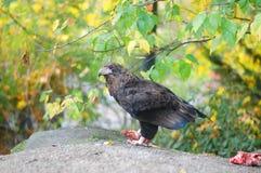 Eagle en el parque zoológico Imágenes de archivo libres de regalías