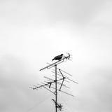 Eagle en el top de la antena de TV Fotos de archivo libres de regalías