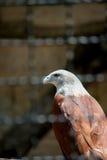 Eagle en la jaula imagen de archivo