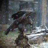 Eagle en la nieve Imágenes de archivo libres de regalías