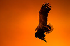 Eagle en la puesta del sol Imagen de archivo