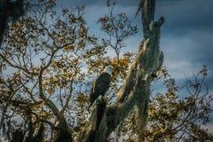 Eagle en Moss Covered Tree Photographie stock libre de droits