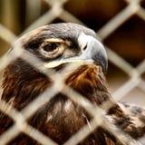 Eagle en un parque zoológico fotos de archivo