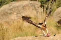 Eagle en una escena de la caza Fotografía de archivo