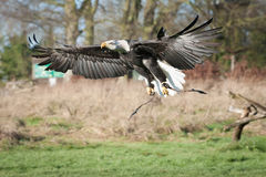 Eagle en vol Photos libres de droits