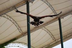 Eagle en vuelo delantero fotos de archivo libres de regalías